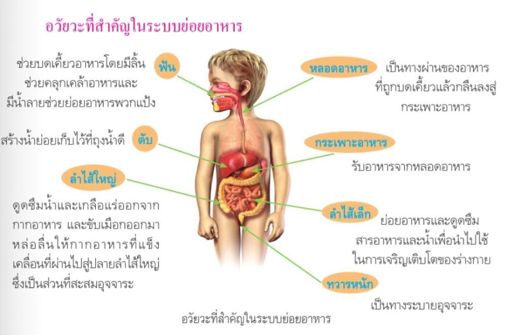 อวัยวะสำคัญในระบบย่อยอาหาร